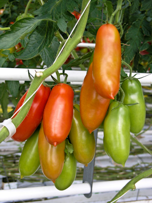 San Marzano tomatoes on the vine
