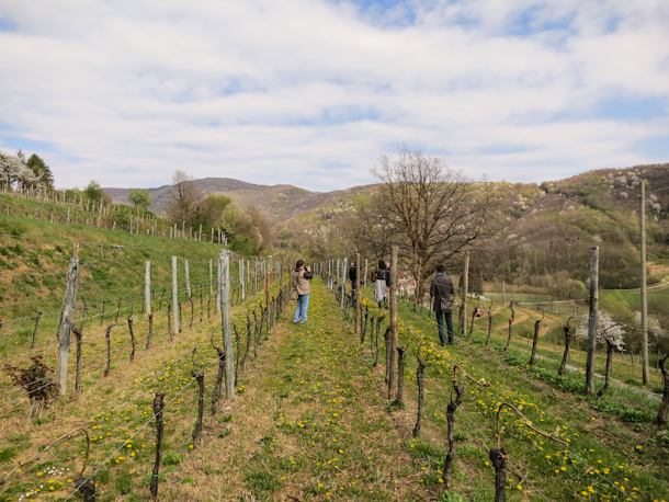 Vine-covered hills of Ronchi di Cialla